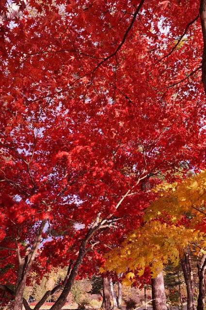 蓼科湖の楓